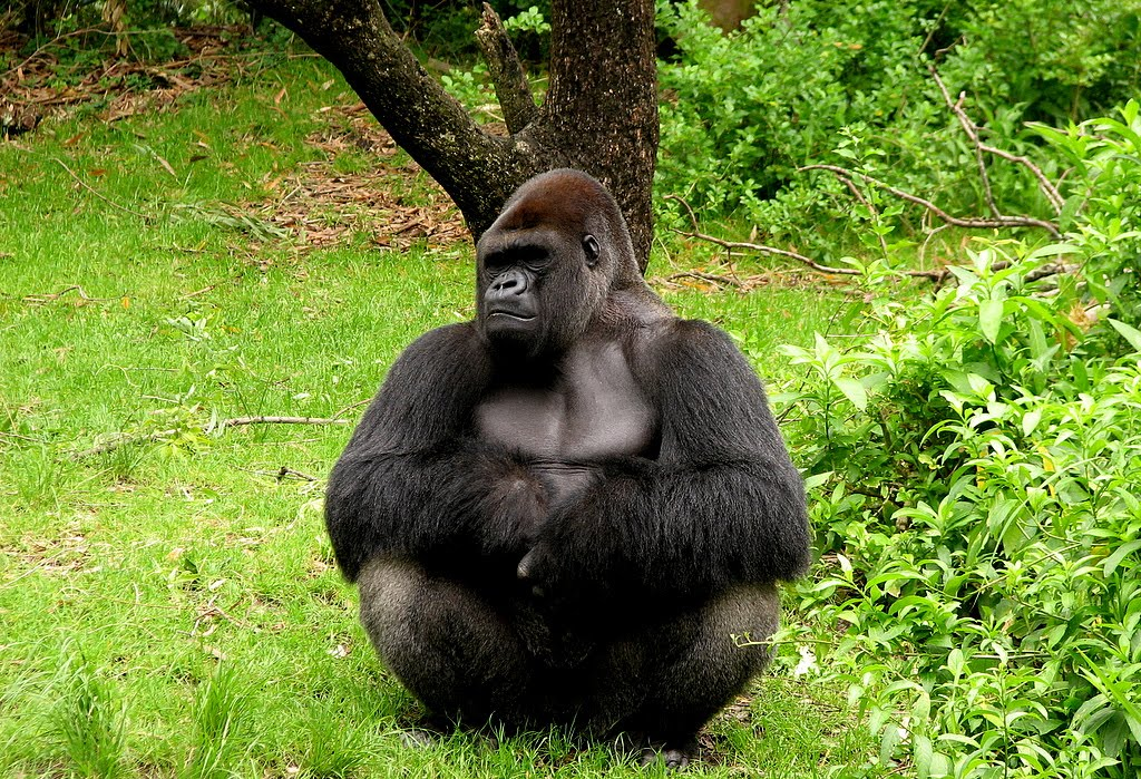 Los gorilas del Congo sólo sobrevivirán 15 años más